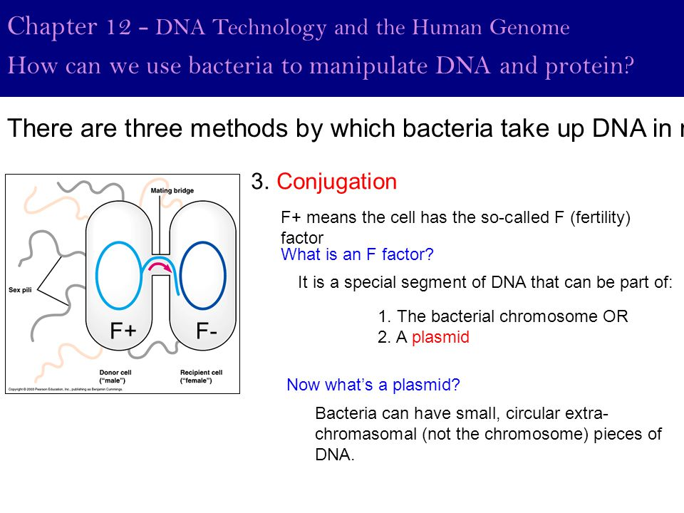 Chapter 12 - DNA Technology and the Human Genome How can we use bacteria to manipulate DNA and protein? 3. Conjugation F+ means the cell has the so-ca