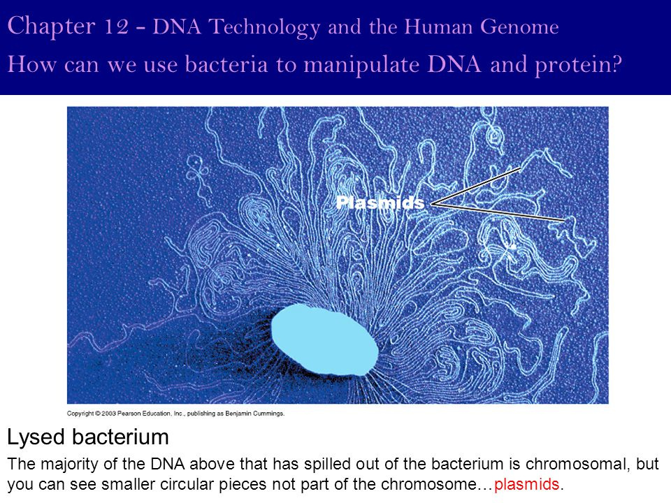 Chapter 12 - DNA Technology and the Human Genome How can we use bacteria to manipulate DNA and protein? The majority of the DNA above that has spilled