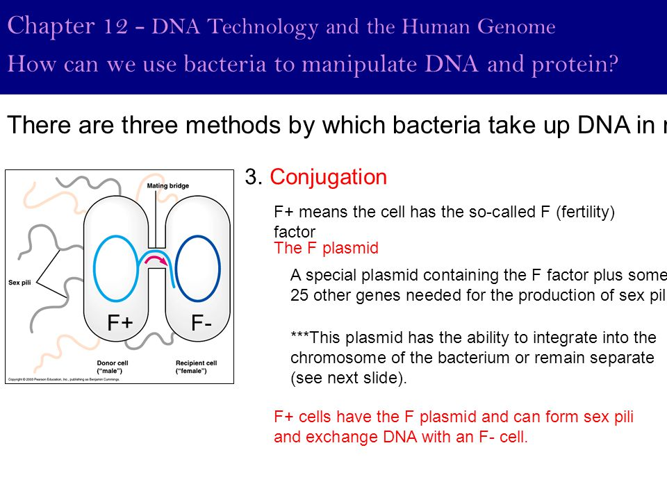 F+ Chapter 12 - DNA Technology and the Human Genome How can we use bacteria to manipulate DNA and protein? 3. Conjugation F+ means the cell has the so