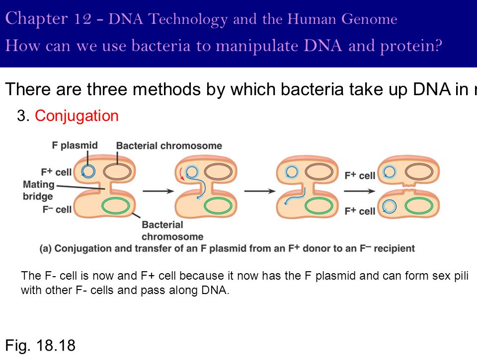 Fig. 18.18 Chapter 12 - DNA Technology and the Human Genome How can we use bacteria to manipulate DNA and protein? 3. Conjugation There are three meth