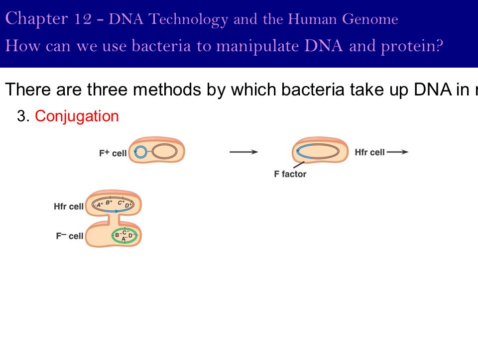 Chapter 12 - DNA Technology and the Human Genome How can we use bacteria to manipulate DNA and protein? 3. Conjugation There are three methods by whic