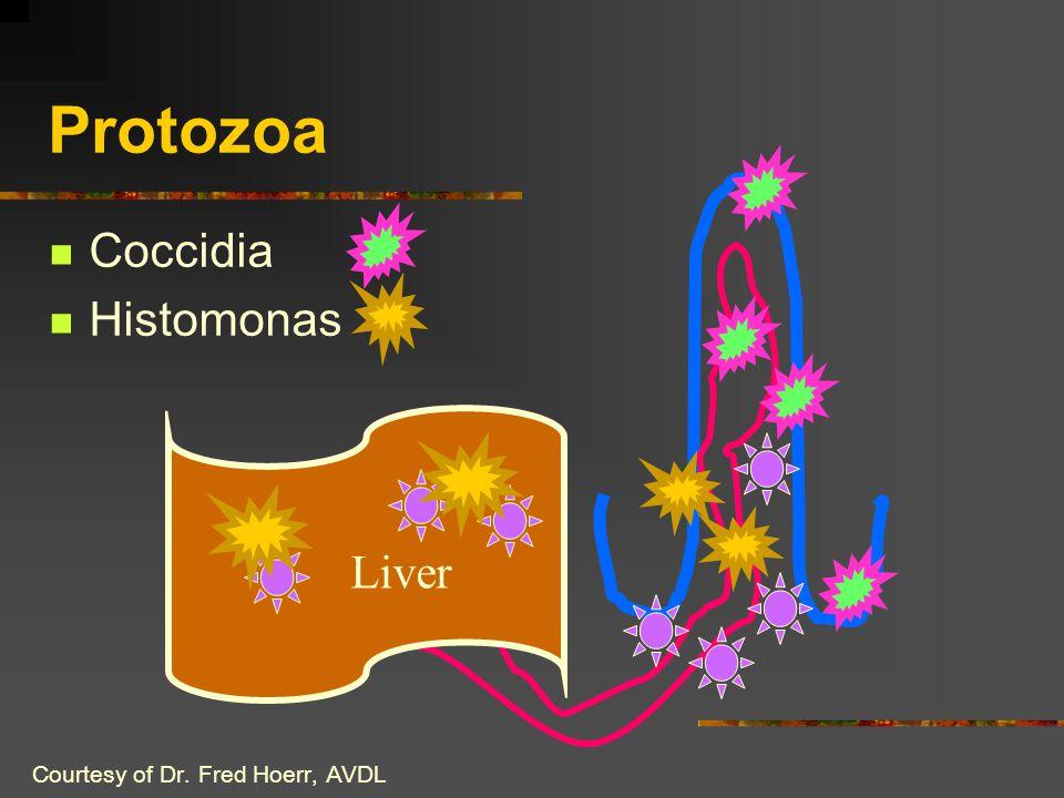 Protozoa Coccidia Histomonas Liver Courtesy of Dr. Fred Hoerr, AVDL