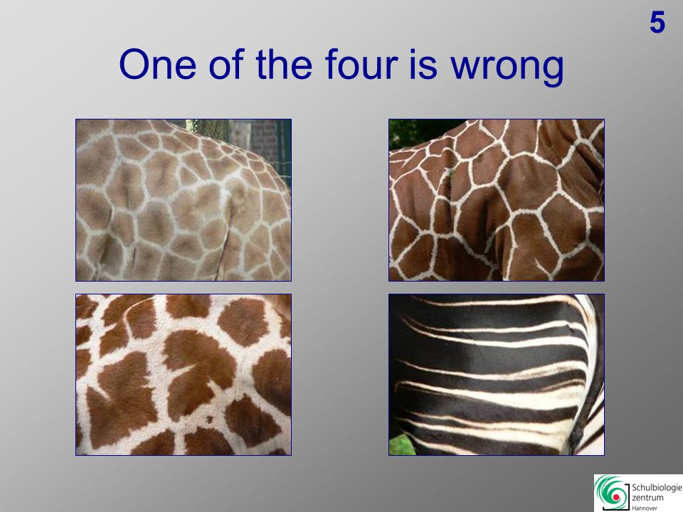 8:OnagerWhite RinocerosChital is wrong, because it is no Perissodactyla South American Tapir Chital 9: African buffaloKaamaGiraffe is wrong, because it is no Bovid BongoGiraffe 10: Red PandaPolar bearWolverine is wrong, because it is no bear WolverineBrown bear 11: Arctic FoxOncillaArctic fox is wrong, because it is no cat LionLeopard 12: Bufo spec.Red-footed tortoiseBufo is wrong, because it is no Reptil PogonaCuvier's Dwarf Caiman 13:Steller's Sea EagleGolden EagleAndean Condoris wrong, because it is no Eagle Andean-CondorBald Eagle 14: OrangutanWestern Lowland GorillaHamadryas Baboon is wrong, because it is no ape Hamadryas BaboonChimpanzee 15:Snowy OwlEurasian Eagle-OwlBald Eagle is wrong, because it is no owl Spectacled OwlBald Eagle