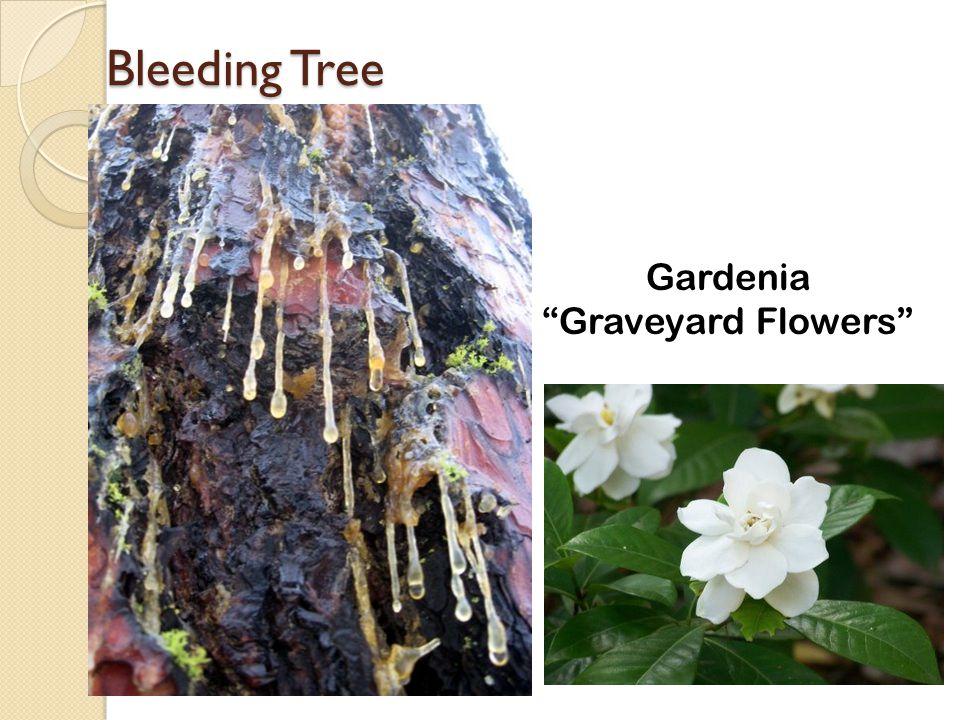 "Bleeding Tree Gardenia ""Graveyard Flowers"""