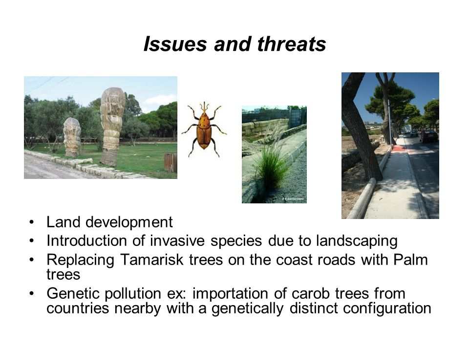 Issues and threats Land development Introduction of invasive species due to landscaping Replacing Tamarisk trees on the coast roads with Palm trees Genetic pollution ex: importation of carob trees from countries nearby with a genetically distinct configuration