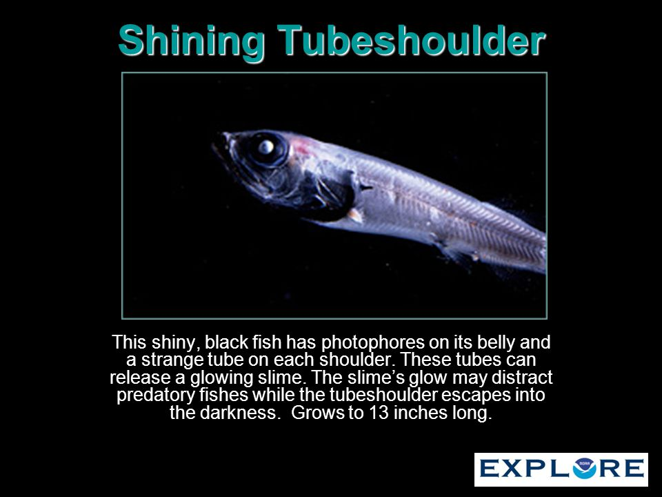 Shining Tubeshoulder This shiny, black fish has photophores on its belly and a strange tube on each shoulder. These tubes can release a glowing slime.