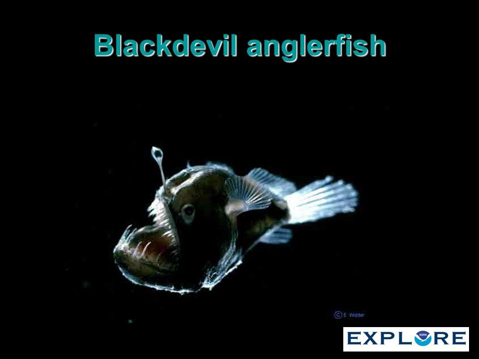 Blackdevil anglerfish