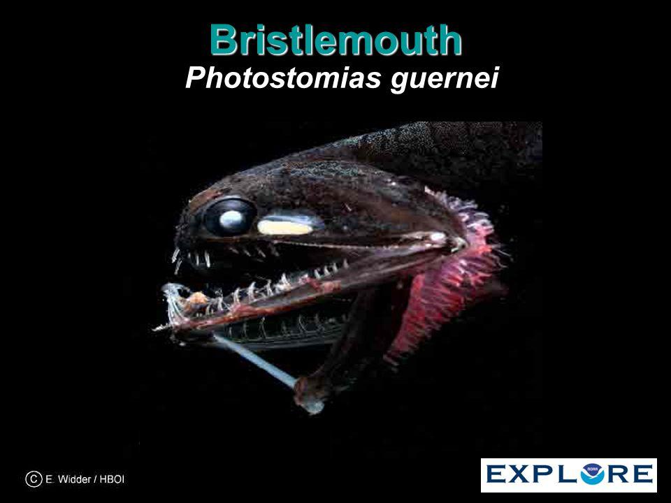 Bristlemouth Bristlemouth Photostomias guernei