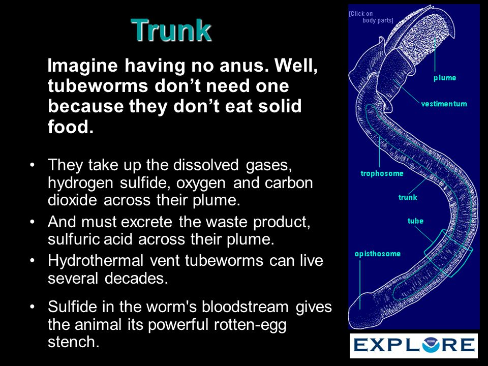 Imagine having no anus. Well, tubeworms don't need one because they don't eat solid food. They take up the dissolved gases, hydrogen sulfide, oxygen a