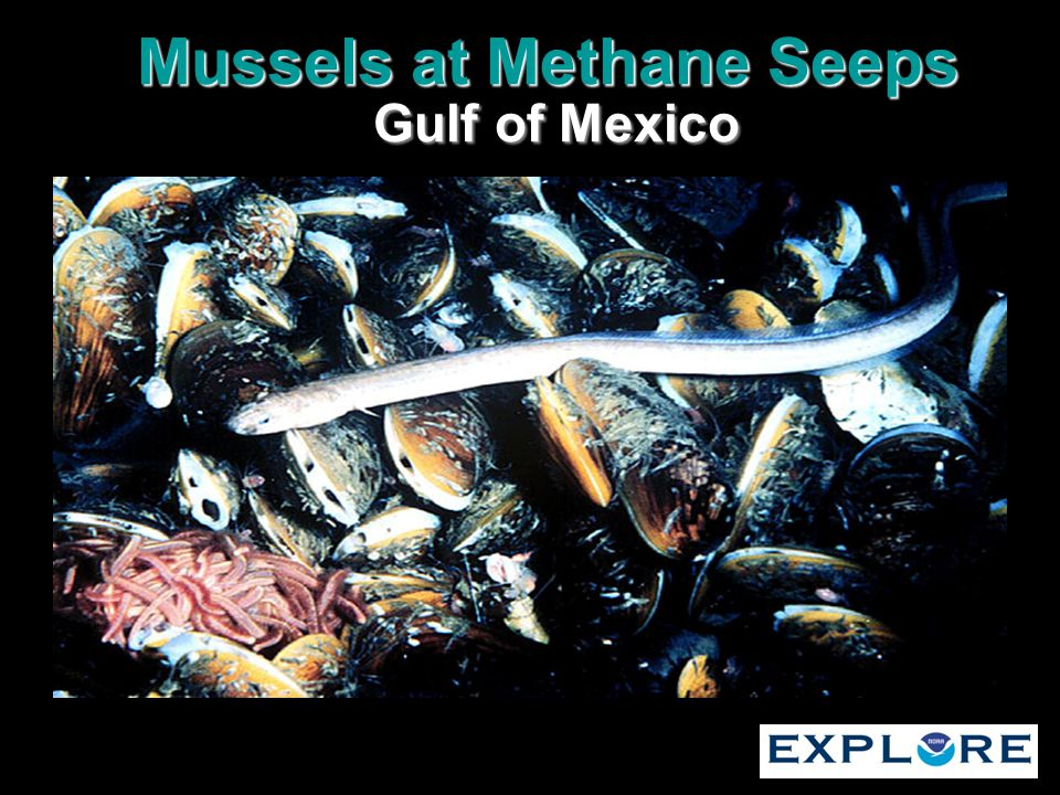 Mussels at Methane Seeps Gulf of Mexico