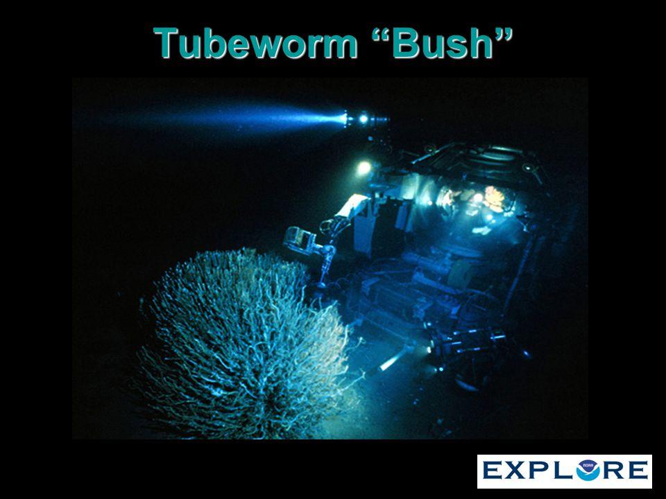 Tubeworm Bush