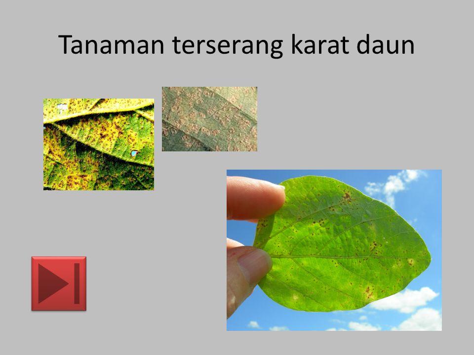 Tanaman terserang bercak daun Cercospora