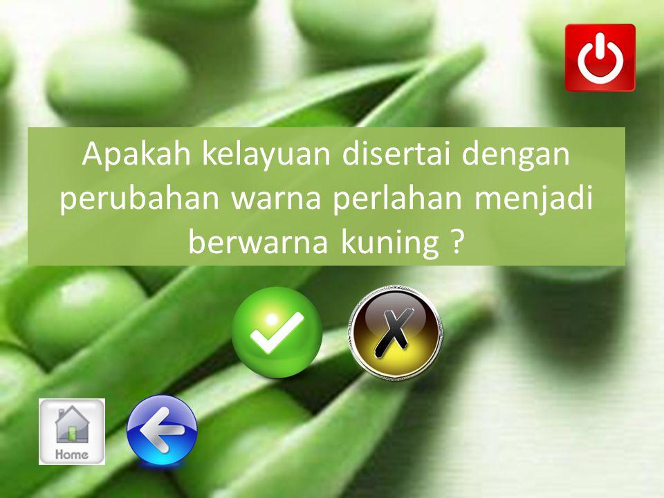 Apakah gejala kelayuan terjadi juga di pucuk tanaman ?