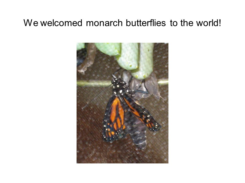 From egg to butterfly, We investigated the stages of a Monarchs' incredible life.