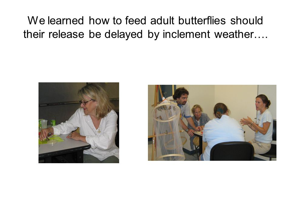 We learned how to feed adult butterflies should their release be delayed by inclement weather….