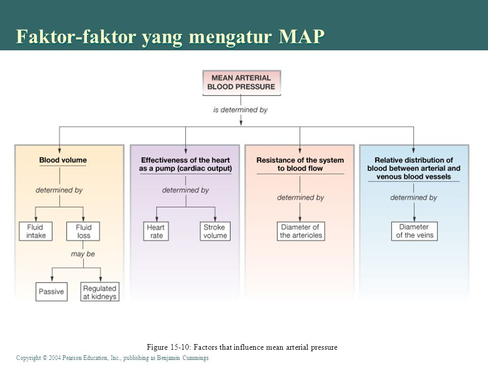 Copyright © 2004 Pearson Education, Inc., publishing as Benjamin Cummings Faktor-faktor yang mengatur MAP Figure 15-10: Factors that influence mean arterial pressure