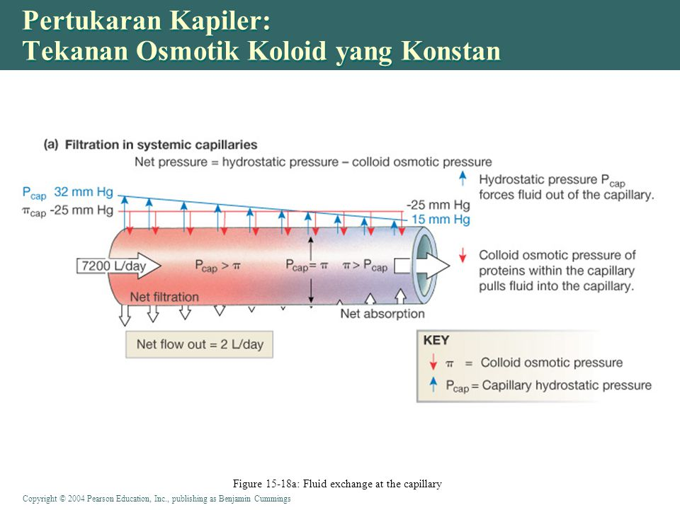 Copyright © 2004 Pearson Education, Inc., publishing as Benjamin Cummings Pertukaran Kapiler: Tekanan Osmotik Koloid yang Konstan Figure 15-18a: Fluid exchange at the capillary