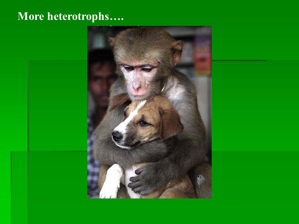 Examples of heterotrophs paramecium