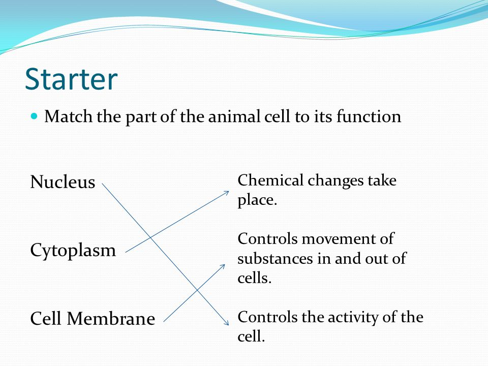 Starter Match the part of the animal cell to its function Nucleus Cytoplasm Cell Membrane Chemical changes take place.