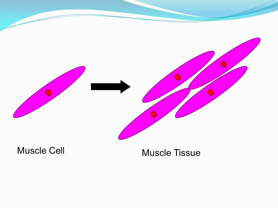 Muscle Cell Muscle Tissue