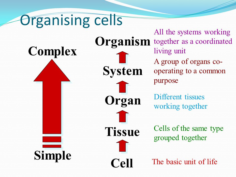 Organising cells Cell The basic unit of life Tissue Cells of the same type grouped together Organ Different tissues working together System A group of organs co- operating to a common purpose Organism All the systems working together as a coordinated living unit Simple Complex