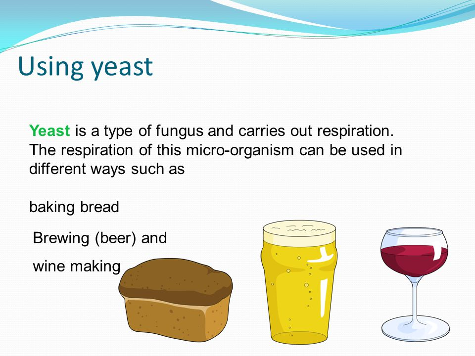 Using yeast Yeast is a type of fungus and carries out respiration.