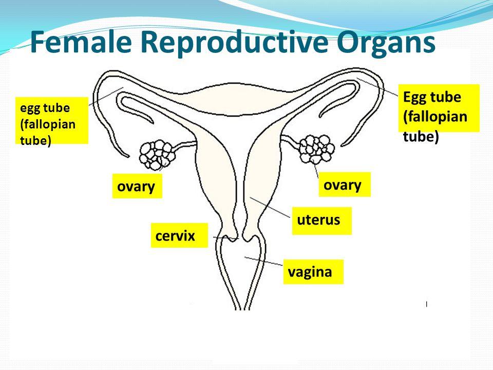 egg tube (fallopian tube) Egg tube (fallopian tube) ovary vagina cervix uterus Female Reproductive Organs