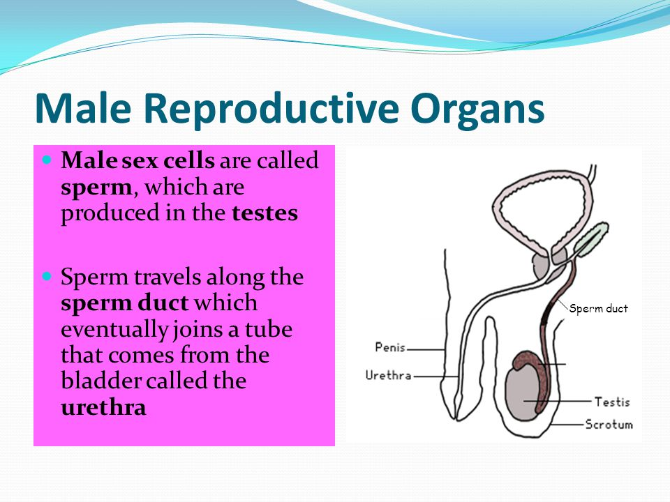 Male Reproductive Organs Male sex cells are called sperm, which are produced in the testes Sperm travels along the sperm duct which eventually joins a tube that comes from the bladder called the urethra Sperm duct