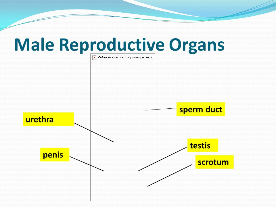 Male Reproductive Organs penis testis urethra scrotum sperm duct