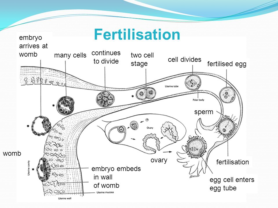 fertilisation sperm fertilised egg cell divides egg cell enters egg tube two cell stage continues to divide many cells embryo arrives at womb embryo embeds in wall of womb ovary womb Fertilisation