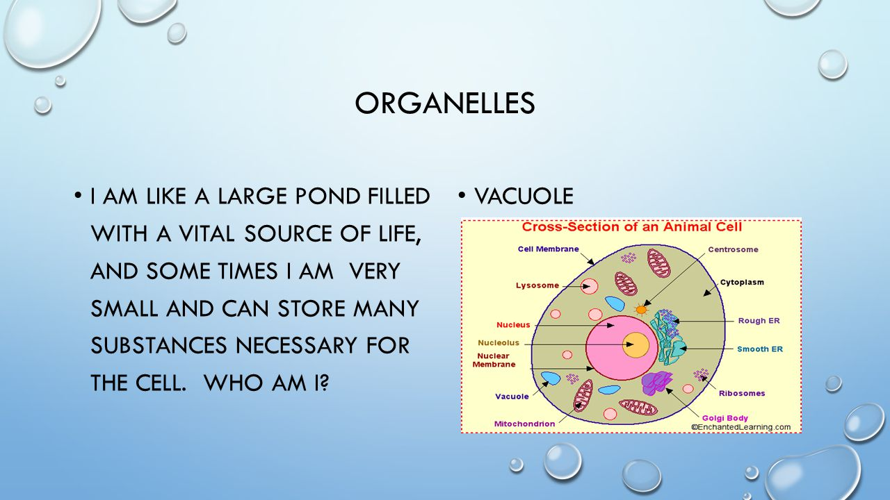 ORGANELLES I AM LIKE A LARGE POND FILLED WITH A VITAL SOURCE OF LIFE, AND SOME TIMES I AM VERY SMALL AND CAN STORE MANY SUBSTANCES NECESSARY FOR THE C