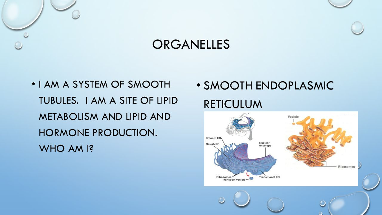 ORGANELLES I AM A SYSTEM OF SMOOTH TUBULES. I AM A SITE OF LIPID METABOLISM AND LIPID AND HORMONE PRODUCTION. WHO AM I? SMOOTH ENDOPLASMIC RETICULUM