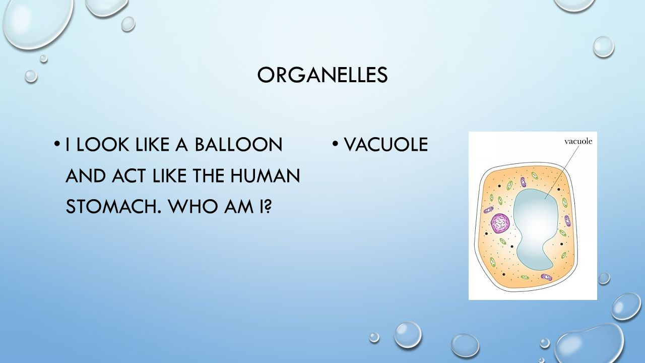 ORGANELLES I AM LIKE FINE THREADS THAT THICKEN WHEN A CELL IS ABOUT TO DIVIDE.