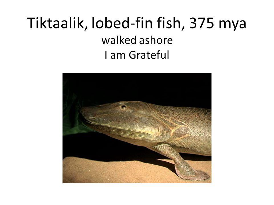 Tiktaalik, lobed-fin fish, 375 mya walked ashore I am Grateful