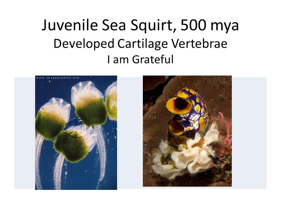 Juvenile Sea Squirt, 500 mya Developed Cartilage Vertebrae I am Grateful