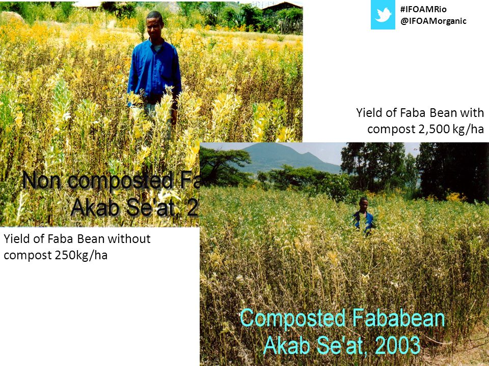 Yield of Faba Bean without compost 250kg/ha Yield of Faba Bean with compost 2,500 kg/ha #IFOAMRio @IFOAMorganic