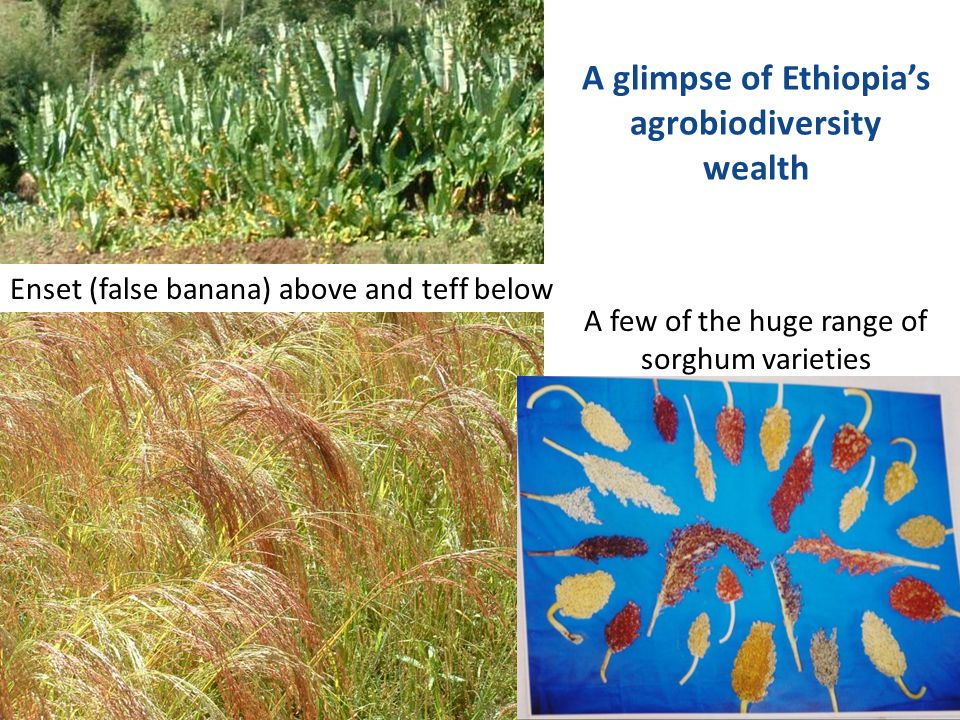 A glimpse of Ethiopia's agrobiodiversity wealth Enset (false banana) above and teff below A few of the huge range of sorghum varieties