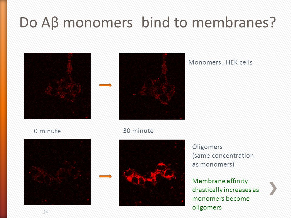 24 Monomers, HEK cells Oligomers (same concentration as monomers) 0 minute 30 minute Membrane affinity drastically increases as monomers become oligom