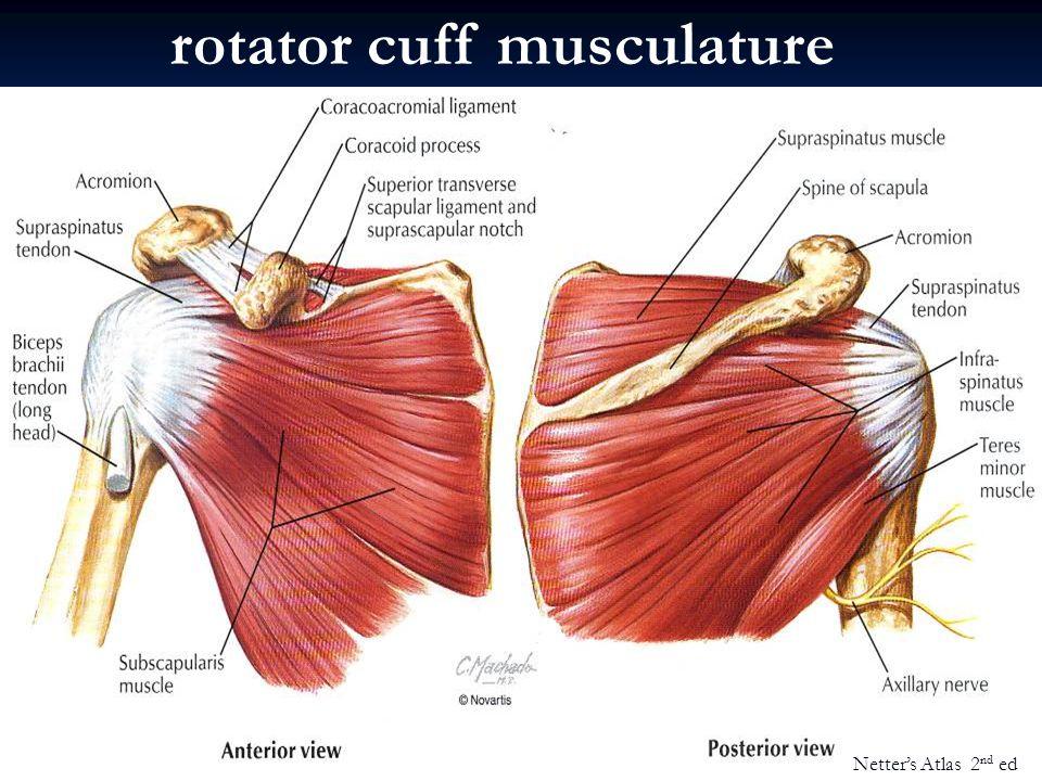 rotator cuff musculature Netter's Atlas 2 nd ed