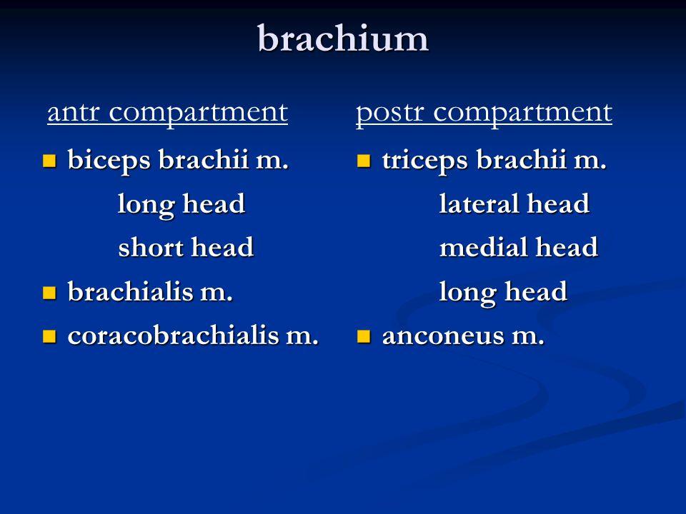 brachium biceps brachii m. biceps brachii m. long head long head short head short head brachialis m. brachialis m. coracobrachialis m. coracobrachiali