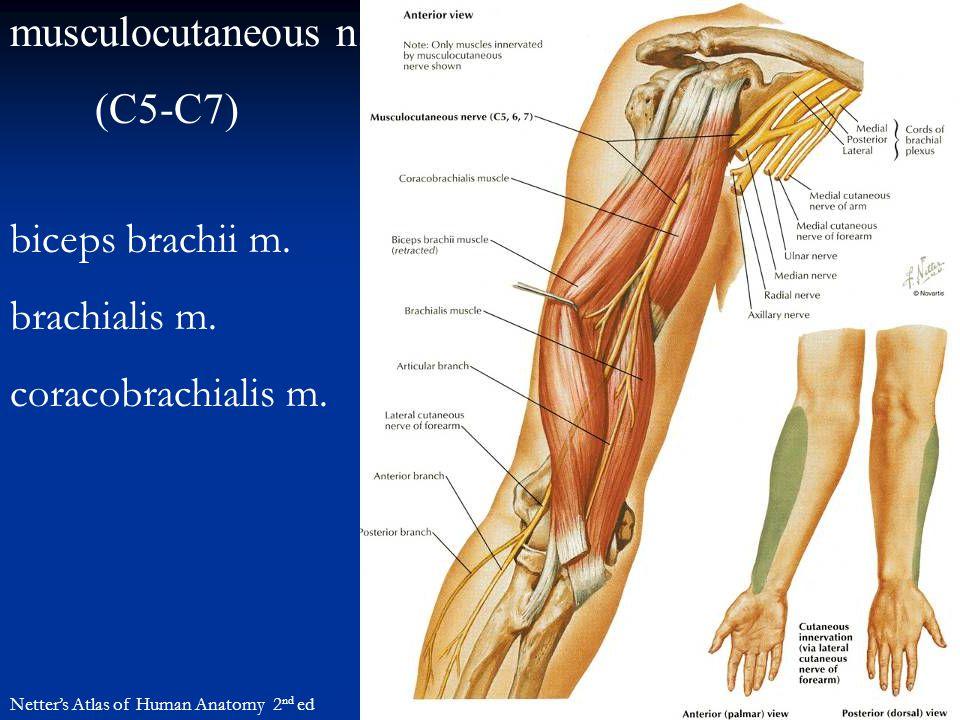 musculocutaneous n. (C5-C7) Netter's Atlas of Human Anatomy 2 nd ed biceps brachii m. brachialis m. coracobrachialis m.