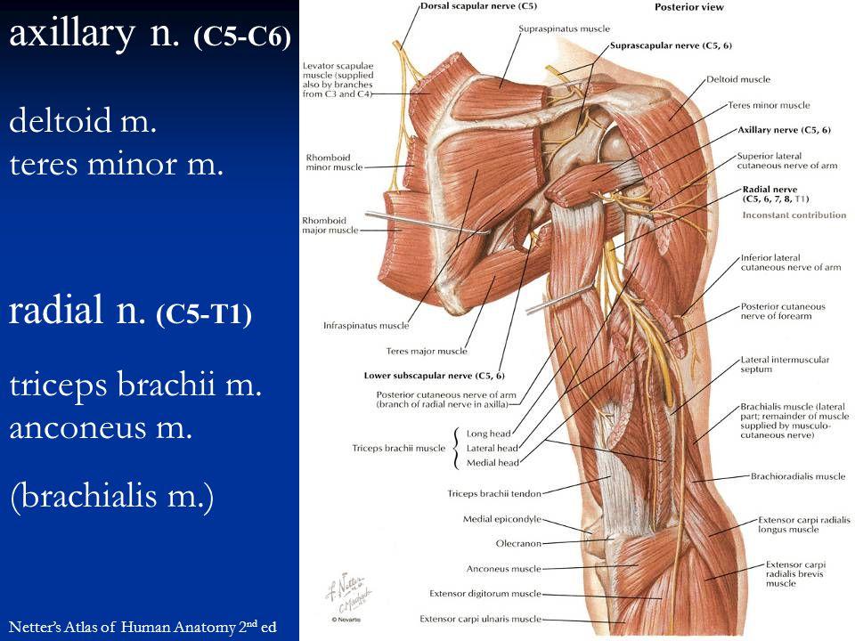 axillary n. (C5-C6) radial n. (C5-T1) Netter's Atlas of Human Anatomy 2 nd ed deltoid m. teres minor m. triceps brachii m. anconeus m. (brachialis m.)
