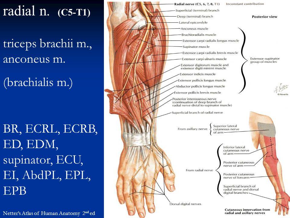 radial n. (C5-T1) Netter's Atlas of Human Anatomy 2 nd ed triceps brachii m., anconeus m. (brachialis m.) BR, ECRL, ECRB, ED, EDM, supinator, ECU, EI,