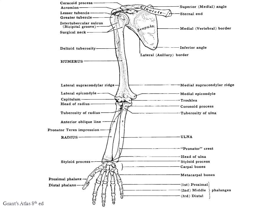 Antr division: flexor comp. Postr division: ext comp. Netter's Atlas of Human Embry 2002
