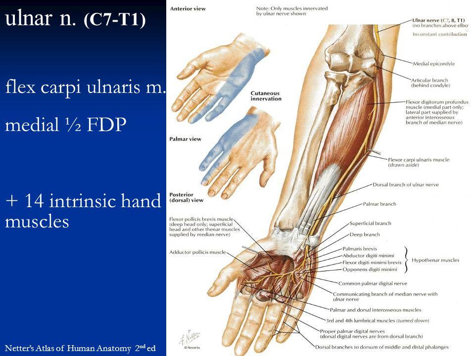 ulnar n. (C7-T1) Netter's Atlas of Human Anatomy 2 nd ed flex carpi ulnaris m. medial ½ FDP + 14 intrinsic hand muscles