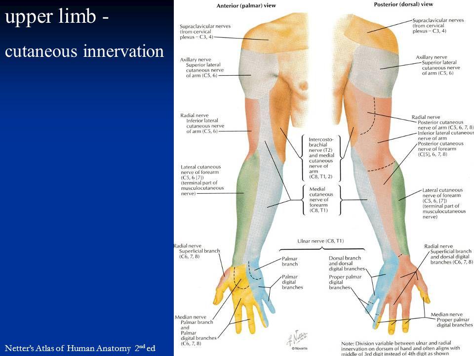 upper limb - cutaneous innervation Netter's Atlas of Human Anatomy 2 nd ed
