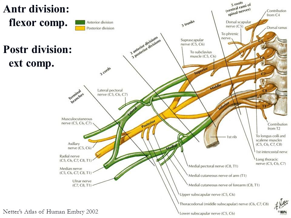 musculocutaneous n.(C5-C7) Netter's Atlas of Human Anatomy 2 nd ed biceps brachii m.