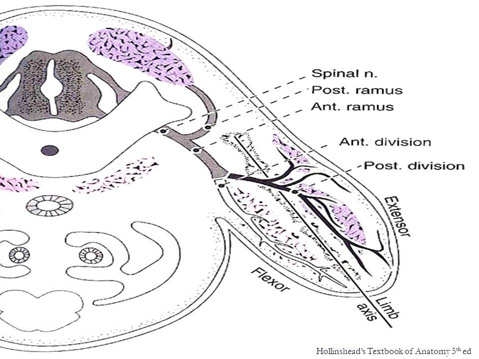 upper limb – dermatome pattern Netter's Atlas of Human Anatomy 2 nd ed