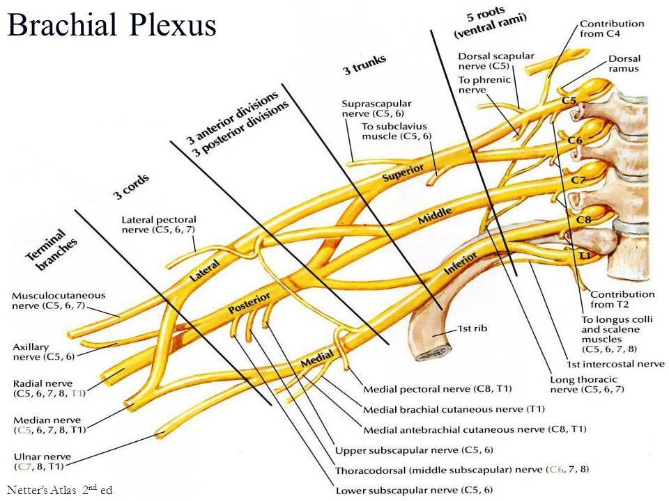 Brachial Plexus Netter's Atlas 2 nd ed