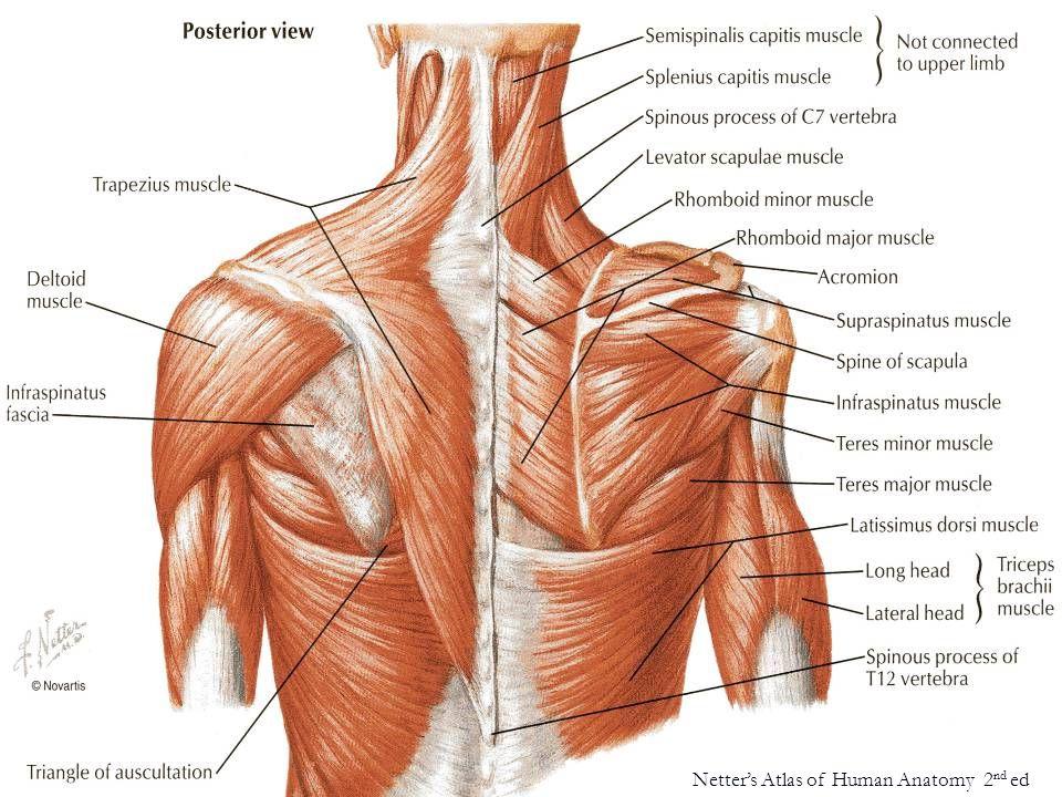 ulnar n.(C7-T1) Netter's Atlas of Human Anatomy 2 nd ed flex carpi ulnaris m.
